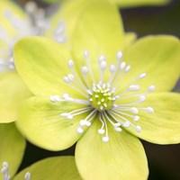 Yellow Blossom Fine Art Print