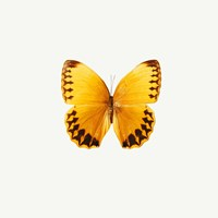 Yellow Butterfly 2 Fine Art Print