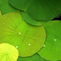 Water Lily Fine Art Print