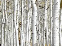 Birch Wood Fine Art Print