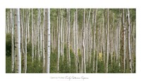 Early Autumn Aspens Fine Art Print