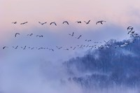 Snow Geese Fine Art Print
