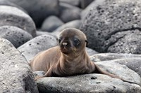 Galapagos Sea Lion Pup Fine Art Print