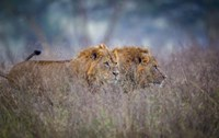 Lions Coming Through The Heather Fine Art Print