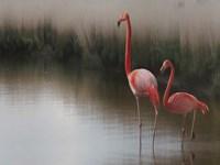 Flamingoes Fine Art Print