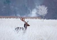 Fallow Deer In The Frozen Winter Landscape Fine Art Print