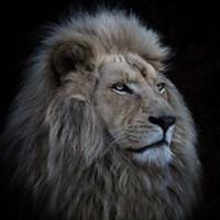 Proud Lion Fine Art Print
