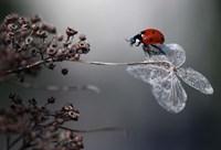 Ladybird On Hydrangea Fine Art Print