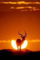 Impala In The Sun Fine Art Print
