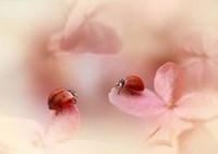 Ladybirds On Pink Hydrangea Fine Art Print