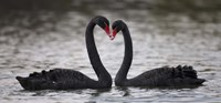 In Love Black Swans Fine Art Print