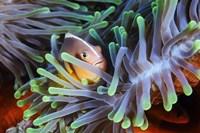 Clownfish Fine Art Print