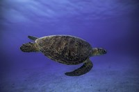 Green Turtle In The Blue Fine Art Print