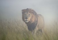 King In The Mist Fine Art Print