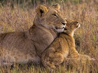 Baby Lion With Mother Fine Art Print