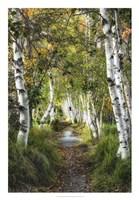 Birch Path I Fine Art Print