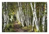 A Walk Through the Birch Trees Fine Art Print