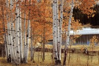 Birch Beauty Fine Art Print