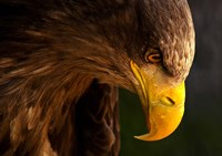 Eagle Pursues Prey Fine Art Print