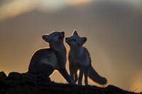 Arctic Fox Fine Art Print