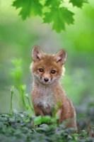 Red Fox Pup Fine Art Print