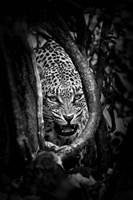 Leopard's Lair Fine Art Print