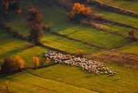 Sheep Herd At Sunset Fine Art Print