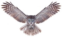 Power - Great Grey Owl Fine Art Print