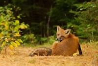 Red Fox - Algonquin Park Fine Art Print