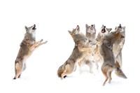 The Choir - Coyotes Fine Art Print