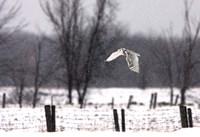 A Snowy Snowy Owl Fine Art Print