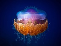 Fried Egg Jellyfish Fine Art Print
