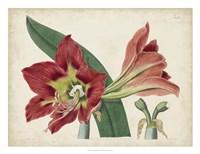 Amaryllis Splendor I Fine Art Print