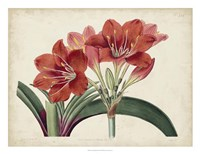 Amaryllis Splendor II Fine Art Print