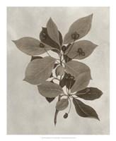 Arbor Specimen I Framed Print