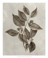 Arbor Specimen III Framed Print