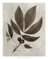 Arbor Specimen V Framed Print