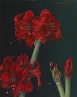 Amaryllis Amigo Fine Art Print