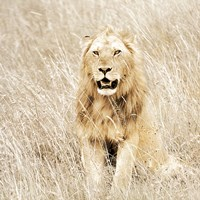 Lion in Kenya Fine Art Print