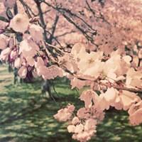 Cherry Blossoms II Fine Art Print