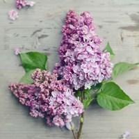 Fresh Lavender Blooms Fine Art Print