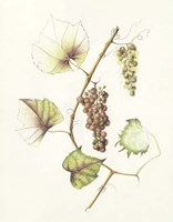 Concord Grapes Fine Art Print