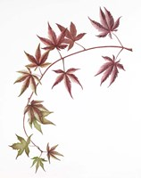 Japanese Maple Fine Art Print