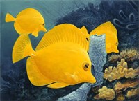 Yellow Tangs Fine Art Print