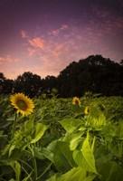 Sherbet Sunflowers Fine Art Print