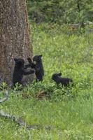 3 Black Bear Cubs (YNP) Fine Art Print