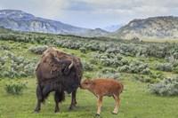 Bison And Calf (YNP) Fine Art Print