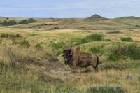 Bison In North Dakota Landscape Fine Art Print