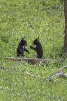 Black Bear Cubs (YNP) Fine Art Print