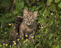 Bobcat Kitten In Wildflowers Fine Art Print